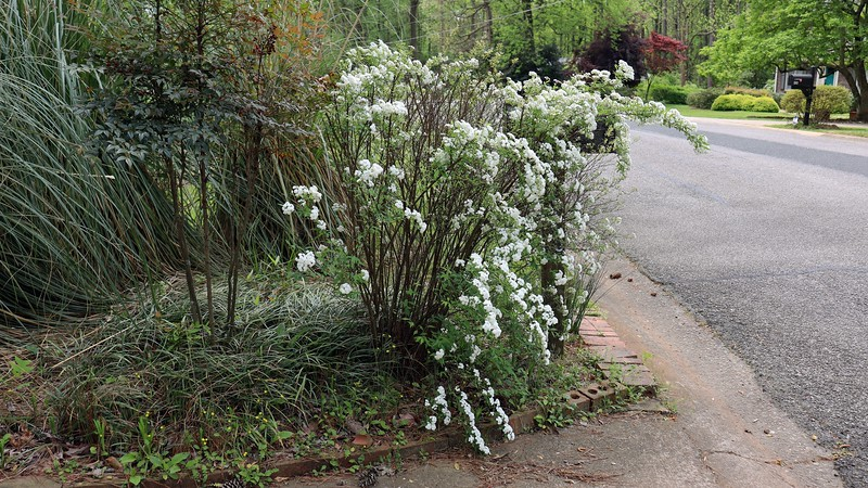 It still seems like the center of the shrub doesn't look as full.  I'll have to do some research.
