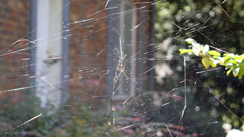 I have to be careful when walking in between any two trees in my yard, because these webs are everywhere.