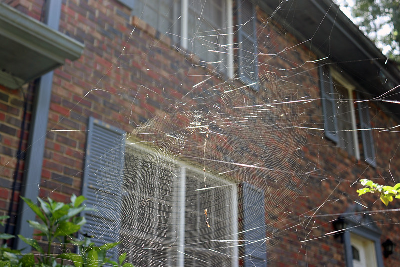 This large web was spun from the Frostproof Gardenia to the Chinese Snowball.