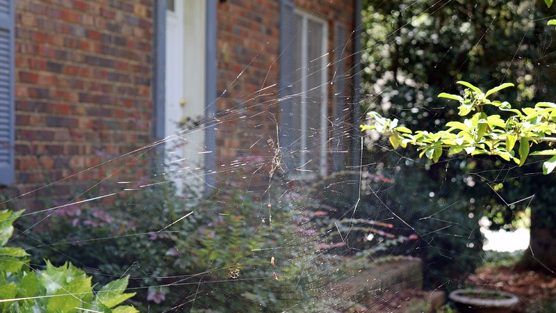 Also called a Garden spider or Writing spider due to the large webs they spin.
