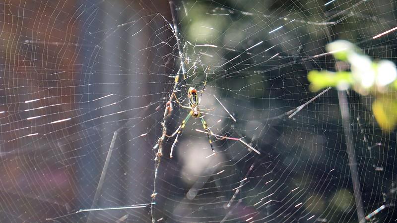 A Joro spider in my front yard.