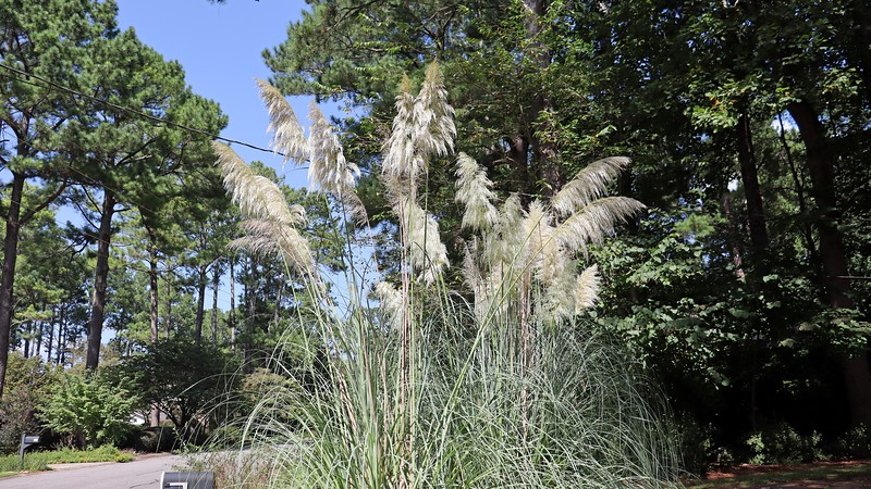 The Pampas grass looks great.