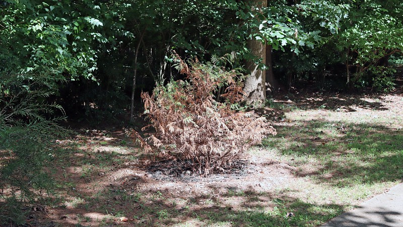Maybe moving the Leyland Cypress from the backyard wasn't such a good idea.  It's been consistently turning brown since the move.  While there is some green left, I don't see how this can end well.