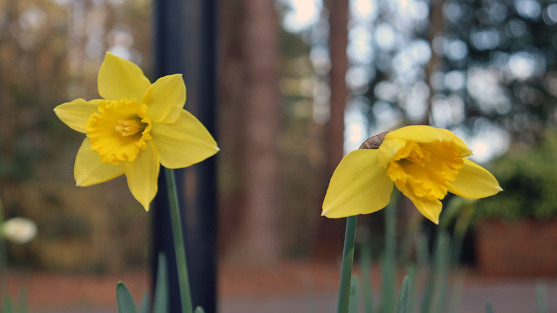 And I've got yellow daffodils.