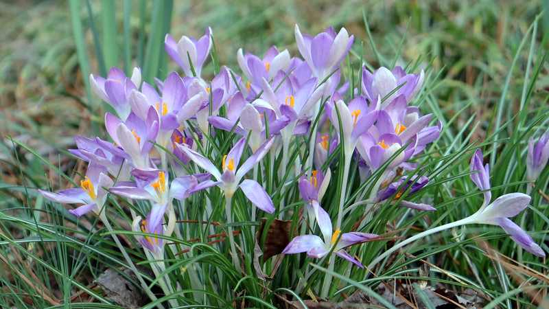 The crocus flowers are blooming nicely.