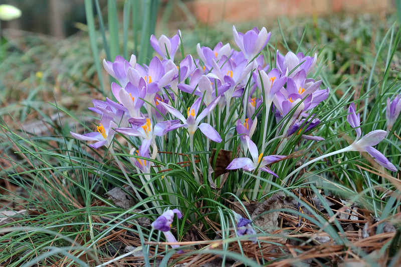 I was able to get a better picture of the crocus flowers.