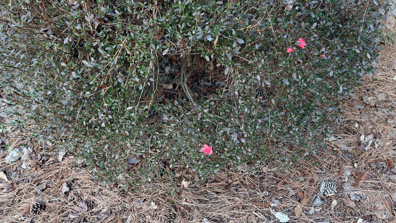 And I see I've got a couple more confused azalea blooms, which is fine.