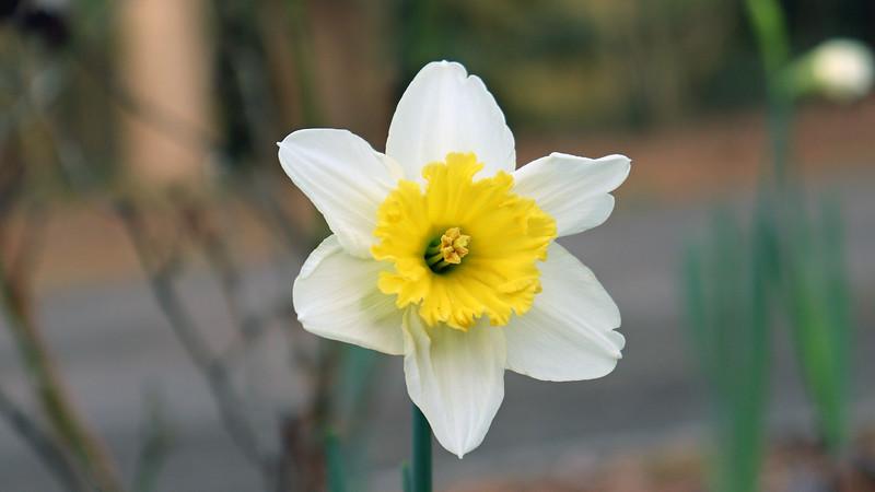I've got white daffodils.