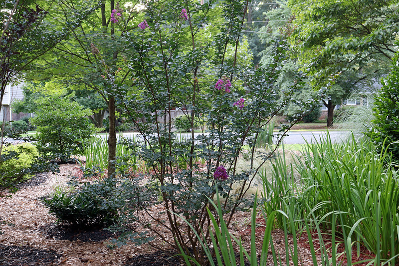 I finally decided to do something about a long-standing mess in the yard this weekend.  But first I couldn't help but notice that I have a few blooms on the Purple Magic crape myrtle.