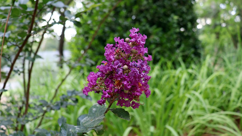 Purple Magic crape myrtle.