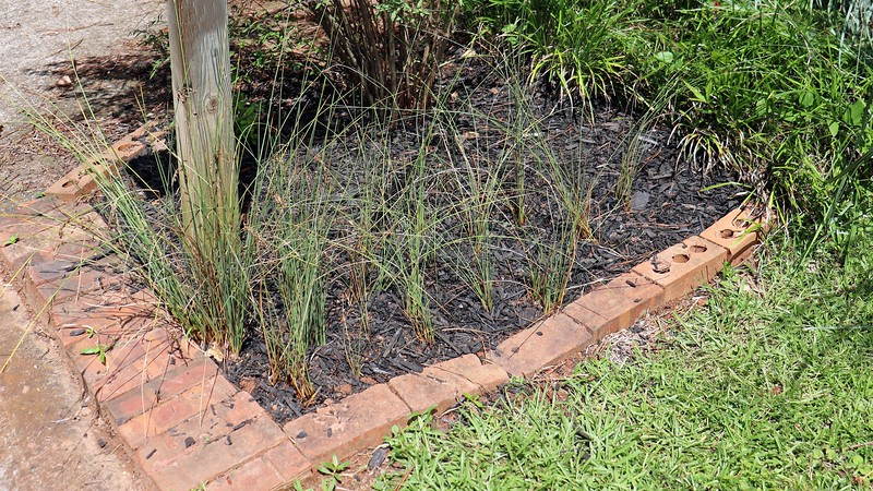 """Along with the Bridal Wreath Spirea, I planted six Javelin Rush ornamental grass plants by the mailbox back in 2013.  The spirea has done very well while the rush grass has just """"survived,"""" (which, itself, is good).  The problem is that as everything has grown around the mailbox area, (like the border grass at the top of the photo above), the rush grass became smothered.  <br /> <br /> Last month, I started digging up the excess border grass and moving it to the other side of the yard.  I also dug up most of what was left of the rush grass and moved it all to one spot.  So far, all of it has survived and seems to be doing well."""