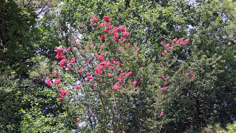 This crape myrtle was already quite large when I moved in.