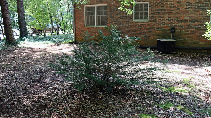 I planted two Leyland Cypress shrubs back in 2012.  The one in the front yard has grown substantially.  But the one in the backyard seen in the photo above is definitely not happy.  These shrubs like more sunlight than is available in the backyard.