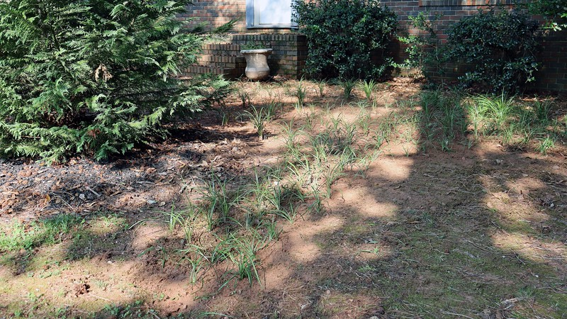I've got an abundance of border grass growing all over the yard.  It spreads profusely and has a tendency to grow right up against any neighboring trees.