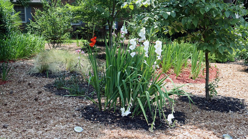The gladioli still look great, even the ones that are bent over.