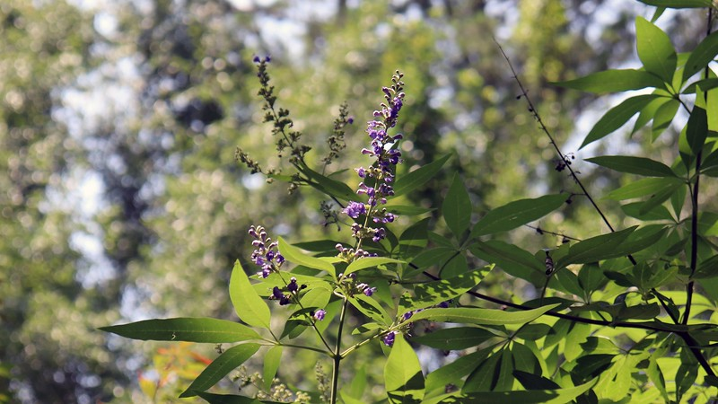 Even though it's finished blooming for the season, the Vitex Shoal Creek is still slightly purple.