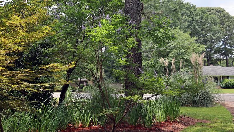 The Vitex Shoal Creek is blooming !