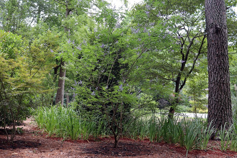 The Vitex Shoal Creek flowers in purple and looks great.