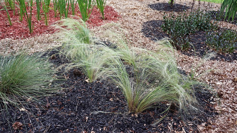 This is another example of how removing all of the irises that surrounded everything was a good idea.  The feather grass looks quite feathery.