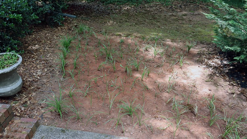 So far, so good for the transplanted border grass.  Everything seems to be doing well, which was expected considering that this grass seems to be indestructible.