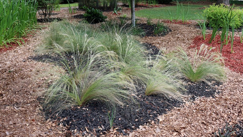 The other ornamental grasses in the yard are also doing well.  The photos above and below are of the Mexican Pony Tails Feather grass I have planted by the maple tree.