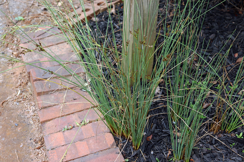 It looks like cleaning out all of the border grass and weeds from around the mailbox did a lot of good for the Javelin Rush ornamental grass I planted there in 2013.
