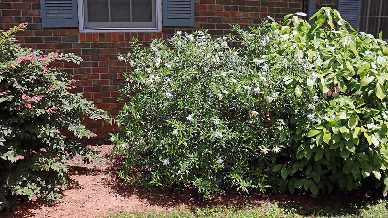 The Frostproof Gardenia is blooming.