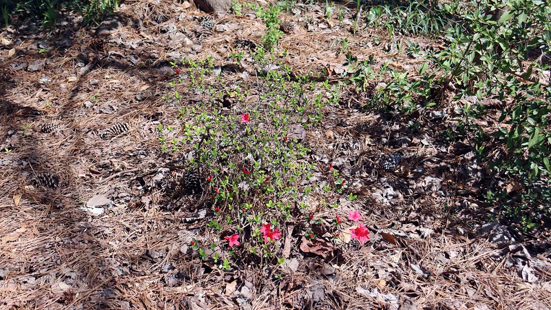 The small relocated azalea always blooms first, and this season is no exception.