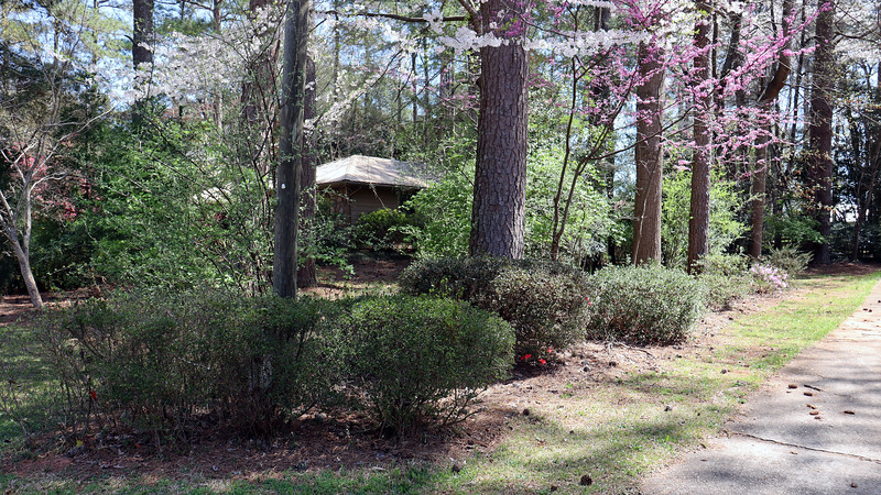 I'm starting to see some activity at the driveway azaleas.