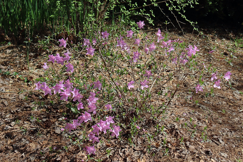 The Korean azalea is also blooming much more this year than in the past.