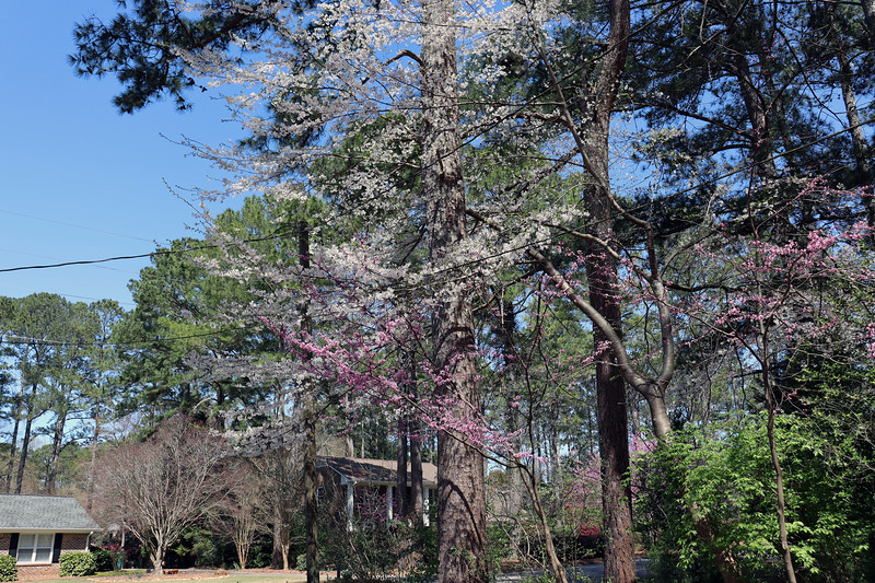 The Redbud and white flowering tree next to the driveway look great.
