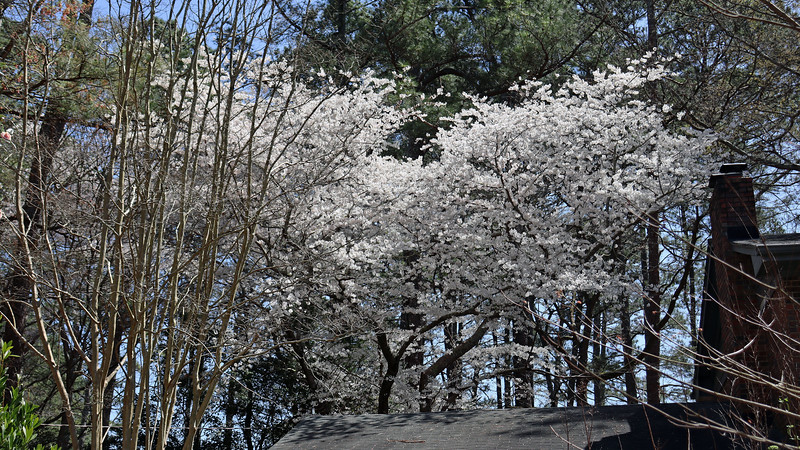 The Yoshino Cherry always looks great in the spring.