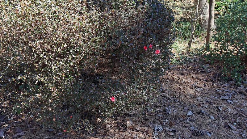 The confused azalea blooms are still present on the second azalea.