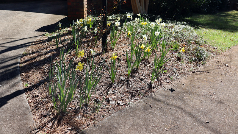 Leaving the daffodils alone last year seemed to be a good strategy.  Just about all of them bloomed this year.