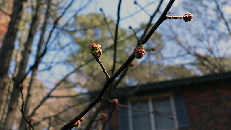 The Cleveland Select Flowering Pear tree is beginning to wake up.  I should be seeing a lot of white flowers this year.