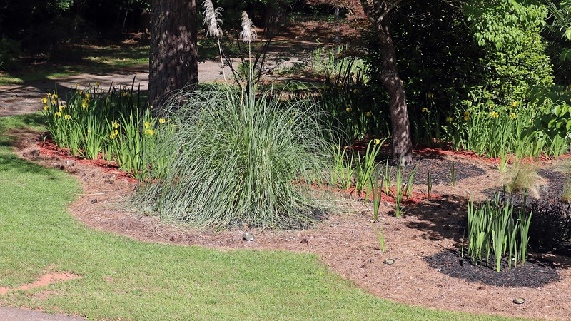 The pampas grass is happy in this sunny spot, as are all of the irises behind it.