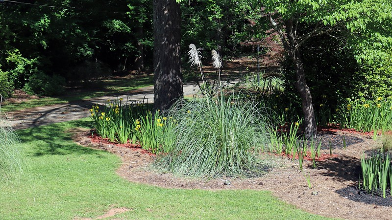 All of the irises I planted around the large pine tree, dogwood tree, and Japanese Camellia are blooming.