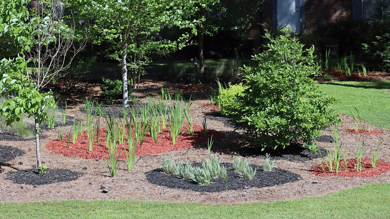 Picture 4 of 7 adds the center section of irises and the Dogwood Cherokee Princess in front, as well as the maple tree behind them.  I need to figure out why half of the dogwood tree seems dead.