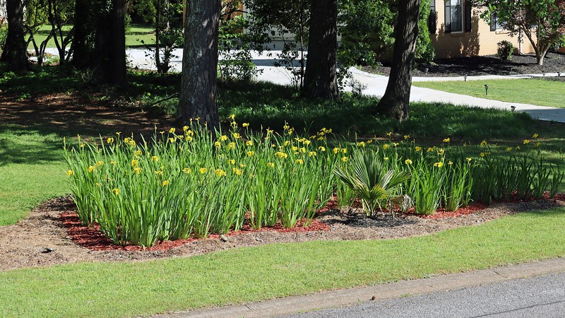 Since both the three and five-picture panoramas worked well, I decided to try a large seven-picture panorama.  The above picture 1 of 7 starts with the new bed of irises.