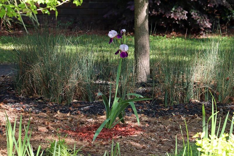 Gifted bearded iris looks great !