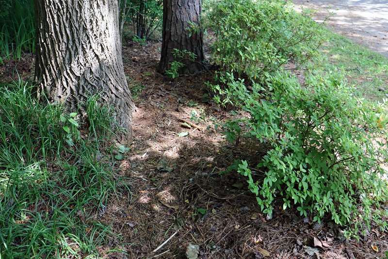 At some points, the border grass had spread up against the azalea.  I cleared an area to give everyone some space.