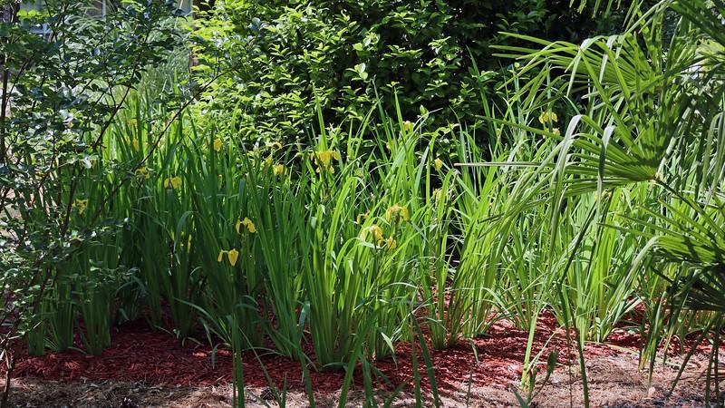 Yellow Flag Iris blooms.