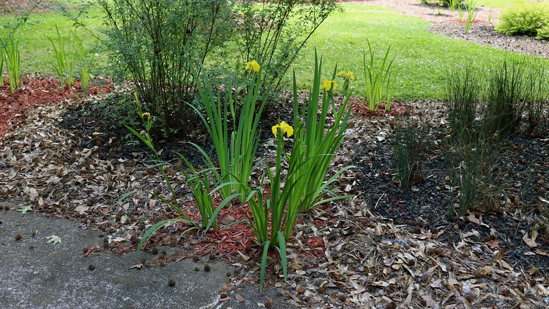 I've still got iris blooms in the yard, even though they're winding down for the season.