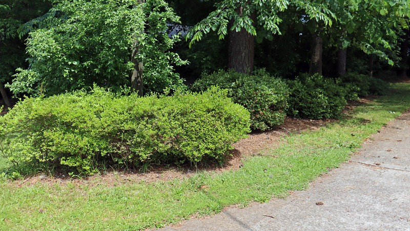 Today's project involved pulling more of the abundance of weeds that have gradually started to take over the yard.  This is something I have been neglecting for a while, and it shows !  I started with one area of the yard that has needed some attention for a while.  A few years ago, I tried to create some definition around the driveway azaleas by separating them from what passes for grass, which turned out ok.  I also tried to get rid of some of the border grass that can be seen growing under the first azalea cluster in the photo above.  And it's obvious how well that worked.  <br /> <br /> My goal for today was to continue work on the dividing line, but this time on both sides of the azaleas.  The side of the line seen in the photo above looks decent.  But the line on the other side doesn't exist.  The tall border grass has basically taken over.  I broke out the gloves, trowel, and bucket to see what I could accomplish.