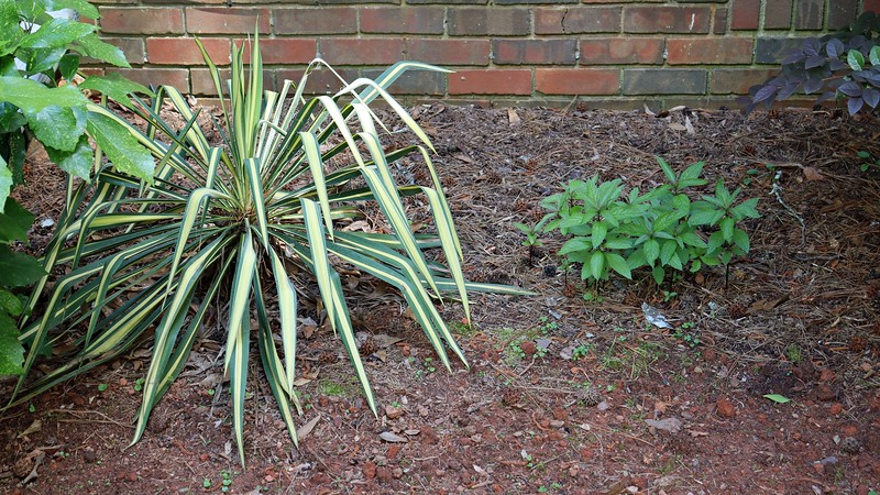 The Joe Pye Weed (R) is making its annual appearance.  The Yucca Color Guard (L) confuses me because I can never tell if it's alive.  The stalks standing straight up in the center of the plant lead me to believe it is alive, but I'm not sure.