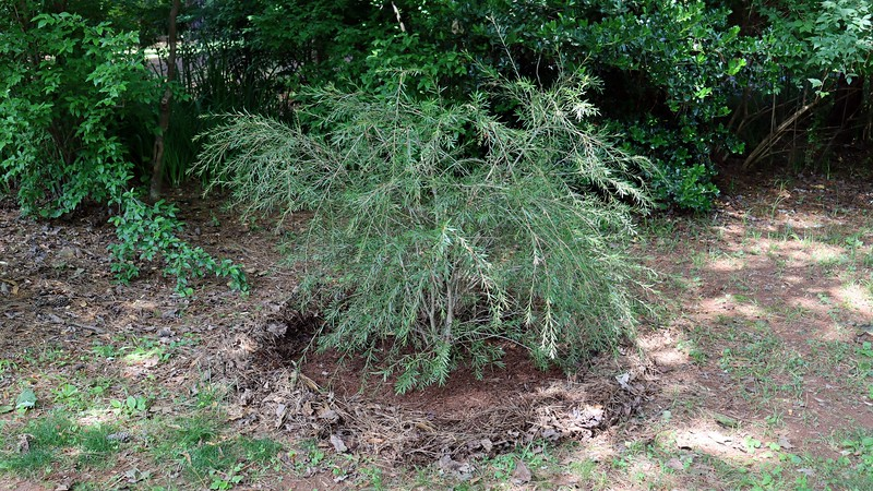 And as long as I'm weeding and circling, I decided to do the same thing with the Woodlanders Hardy Bottlebrush next to the driveway.