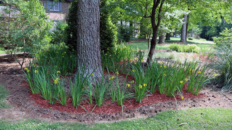 The Yellow Flag Irises are winding down for the season.