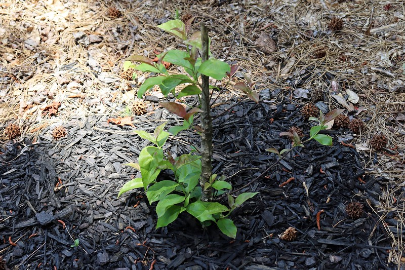 What's left of a flowering dogwood tree that was broken off by the local deer population still appears to be alive.  So I'll leave it there and see what happens.