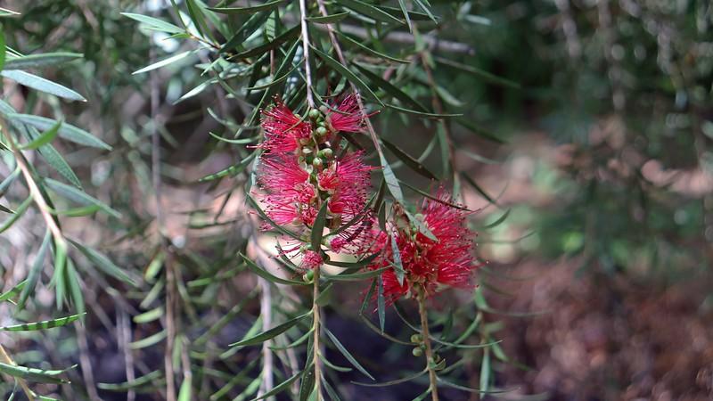 Blooms on the Woodlanders Hardy Bottlebrush.