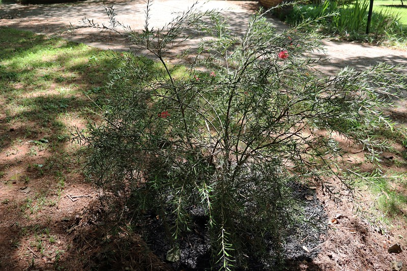 The Woodlanders Hardy Bottlebrush is another plant that I'm not sure what to do with.  It doesn't seem to be growing all that fast, but it does bloom each spring.